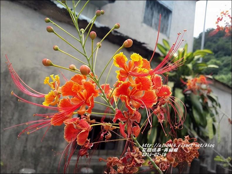 2014-07-黃蝴蝶3.jpg