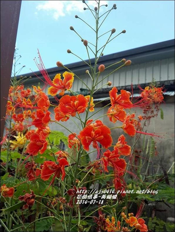 2014-07-黃蝴蝶7.jpg