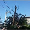 希望之樹鳳凰木1.jpg