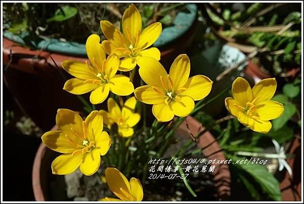 2014-08-黃花蔥蘭1.jpg