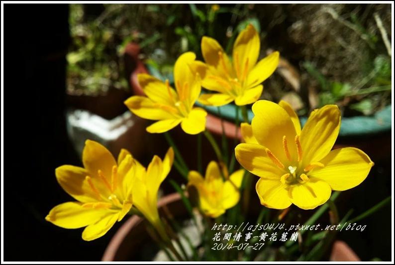 2014-08-黃花蔥蘭2.jpg