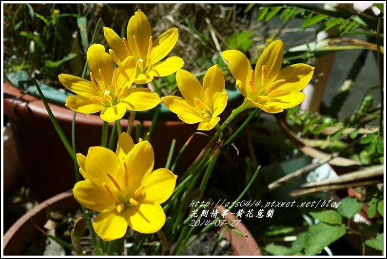 2014-08-黃花蔥蘭3.jpg