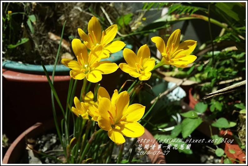 2014-08-黃花蔥蘭4.jpg