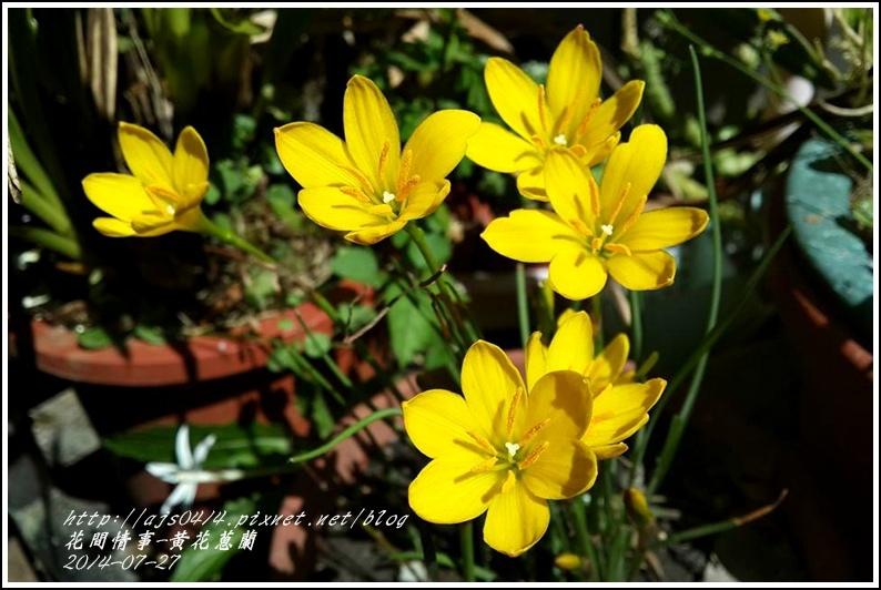 2014-08-黃花蔥蘭5.jpg