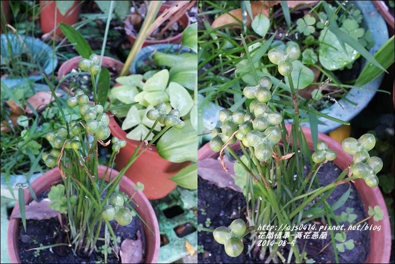 2014-08-黃花蔥蘭種子.jpg