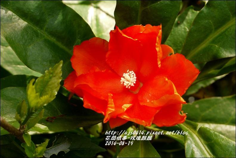 2014-08-玫瑰麒麟11.jpg