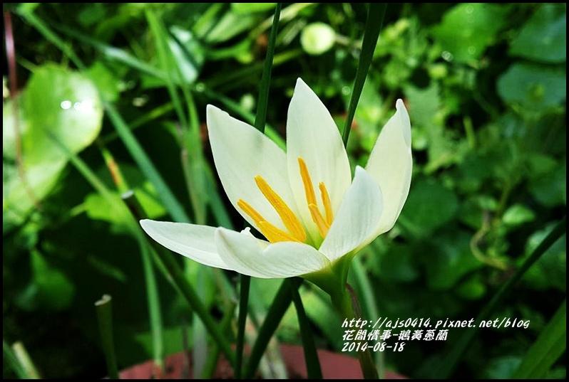 2014-08-鵝黃蔥蘭1.jpg