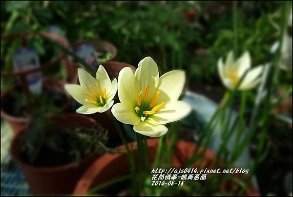 2014-08-鵝黃蔥蘭10.jpg
