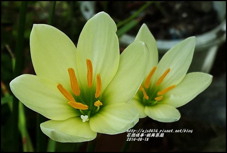 2014-08-鵝黃蔥蘭2.jpg