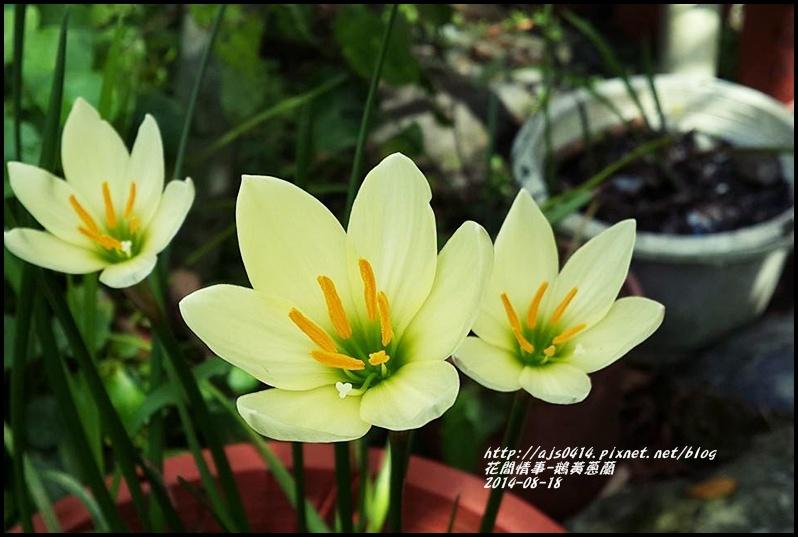 2014-08-鵝黃蔥蘭3.jpg