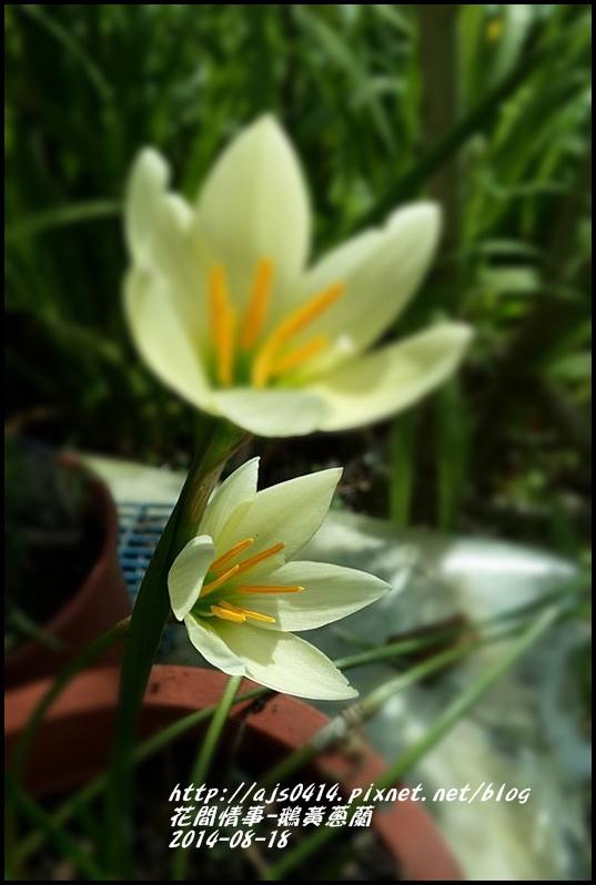 2014-08-鵝黃蔥蘭5.jpg