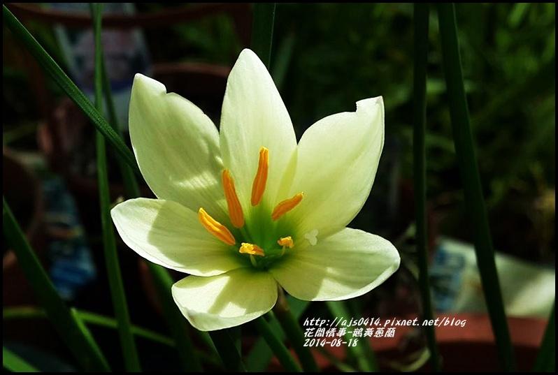 2014-08-鵝黃蔥蘭4.jpg