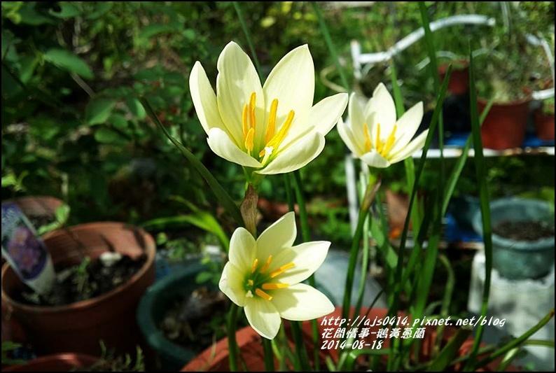 2014-08-鵝黃蔥蘭8.jpg