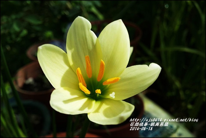 2014-08-鵝黃蔥蘭9.jpg