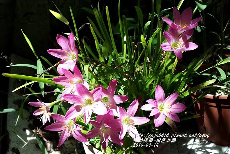 2014-09-粉色韭蘭1.jpg