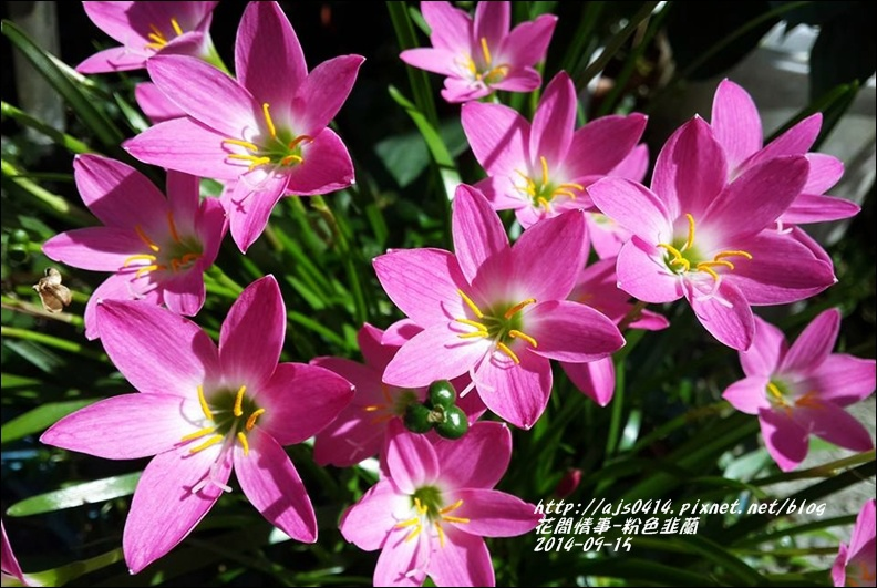 2014-09-粉色韭蘭2.jpg