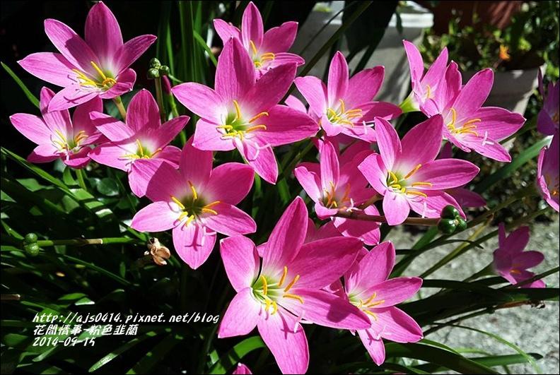 2014-09-粉色韭蘭3.jpg