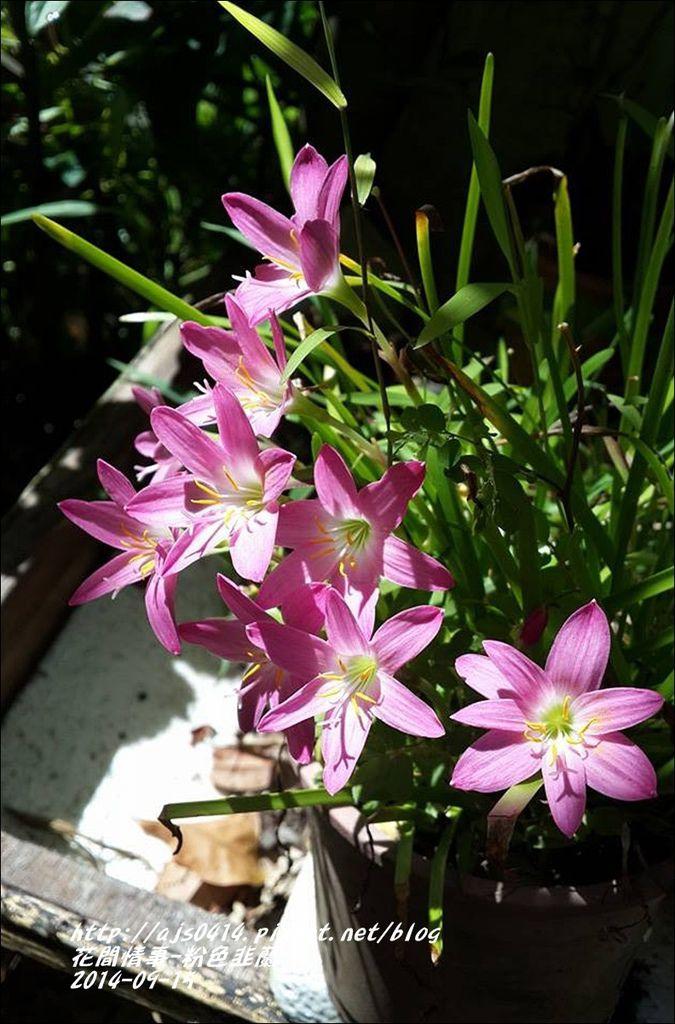 2014-09-粉色韭蘭6.jpg