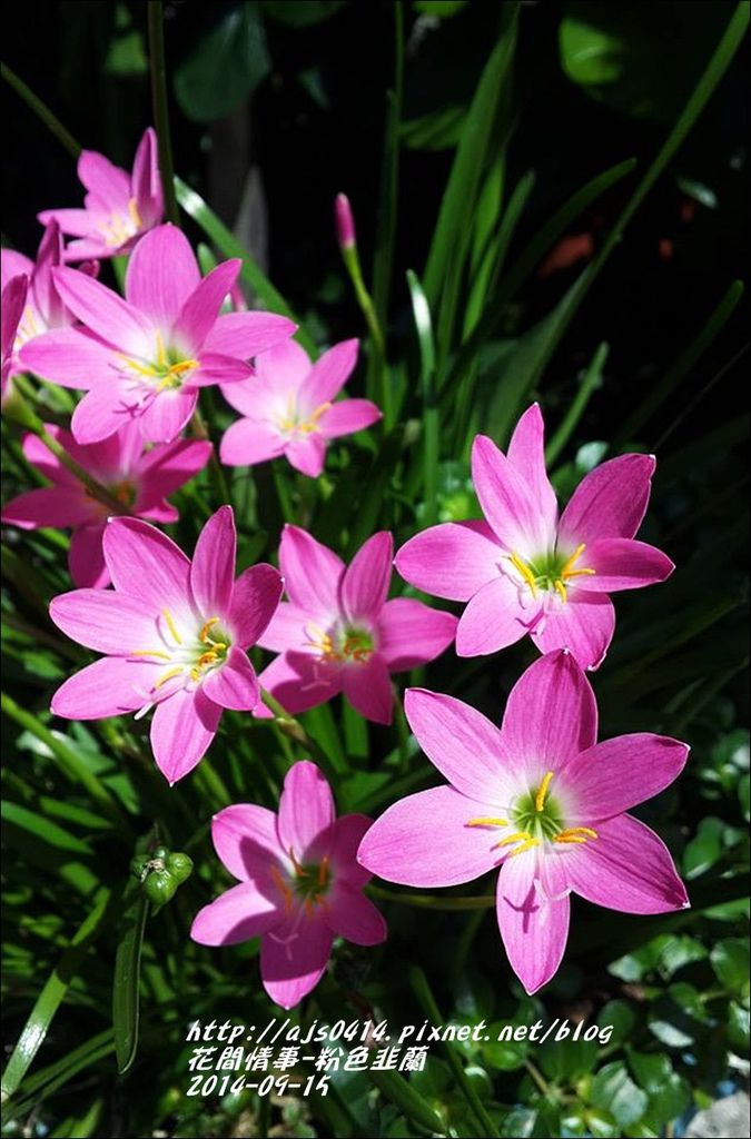 2014-09-粉色韭蘭8.jpg