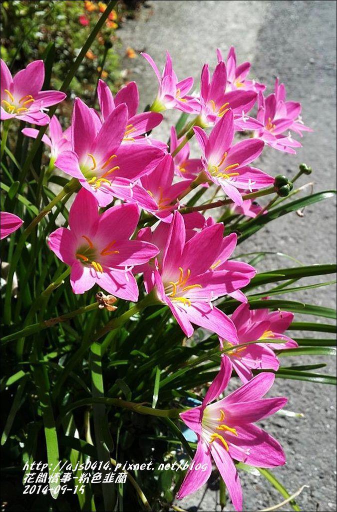 2014-09-粉色韭蘭7.jpg