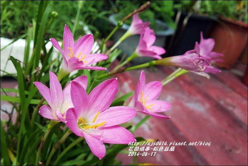 2014-09-粉色韭蘭10.jpg