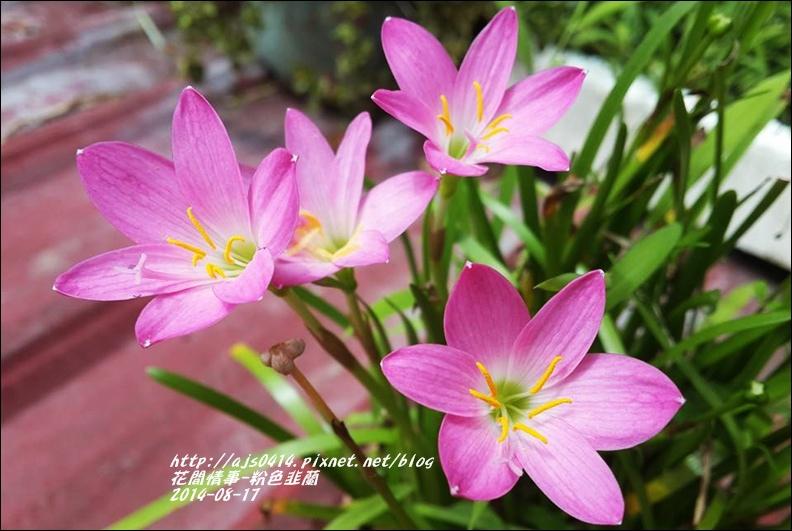 2014-09-粉色韭蘭11.jpg