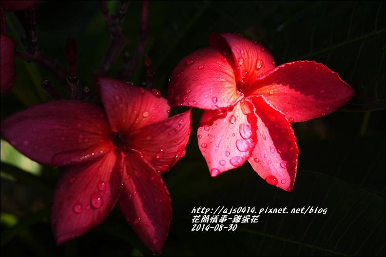 2014-09-雞蛋花7.jpg