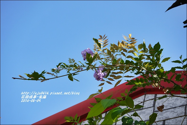 2014-10-紫藤2.jpg