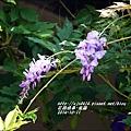 2014-10-紫藤1.jpg