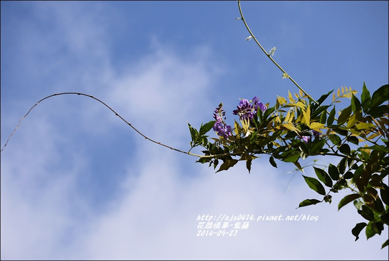 2014-10-紫藤5.jpg