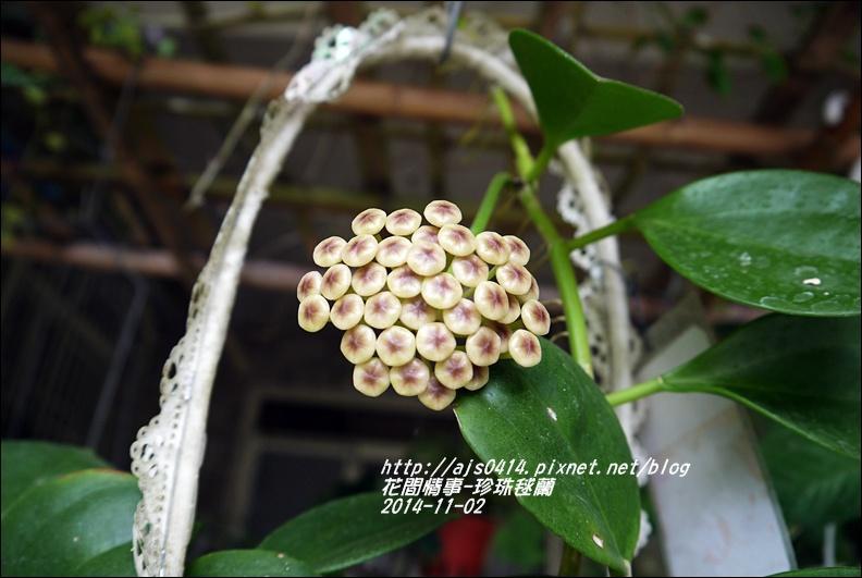 2014-11-珍珠毬蘭3.jpg