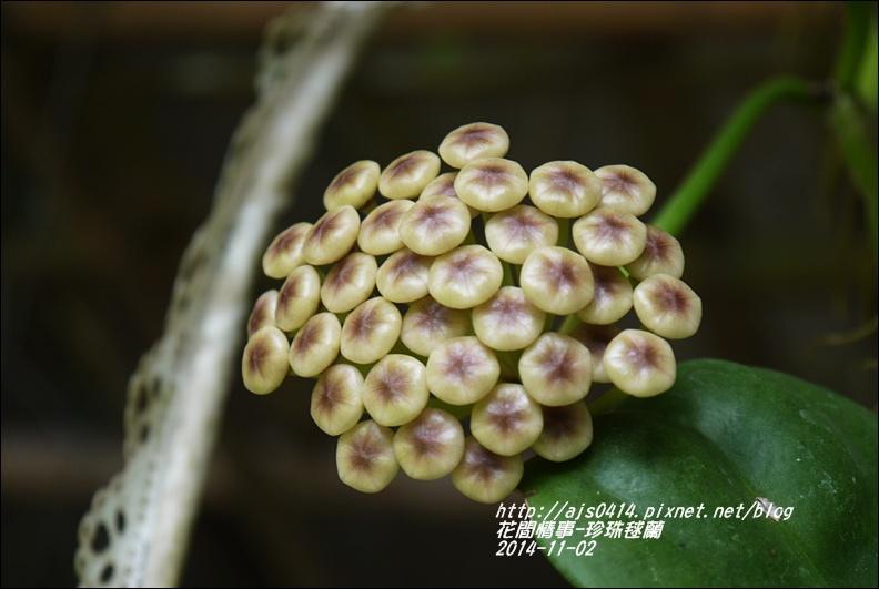 2014-11-珍珠毬蘭2.jpg
