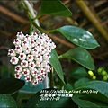 2014-11-珍珠毬蘭5.jpg