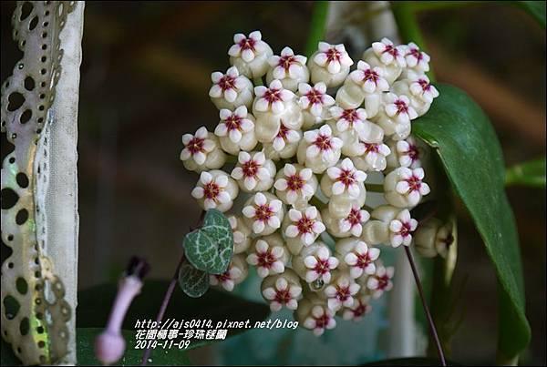 2014-11-珍珠毬蘭7.jpg
