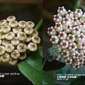 珍珠毬蘭.jpg