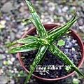 2014-12-多肉植物10.jpg