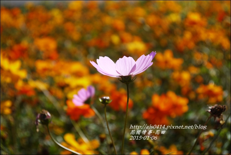 2015-01-波斯花田7.jpg