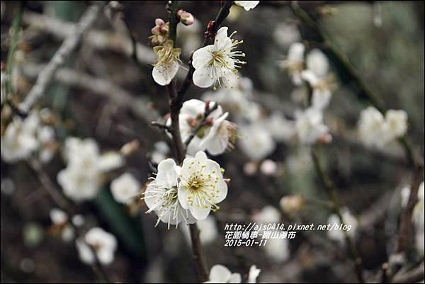 2015-01-羅山瀑布梅花香11.jpg