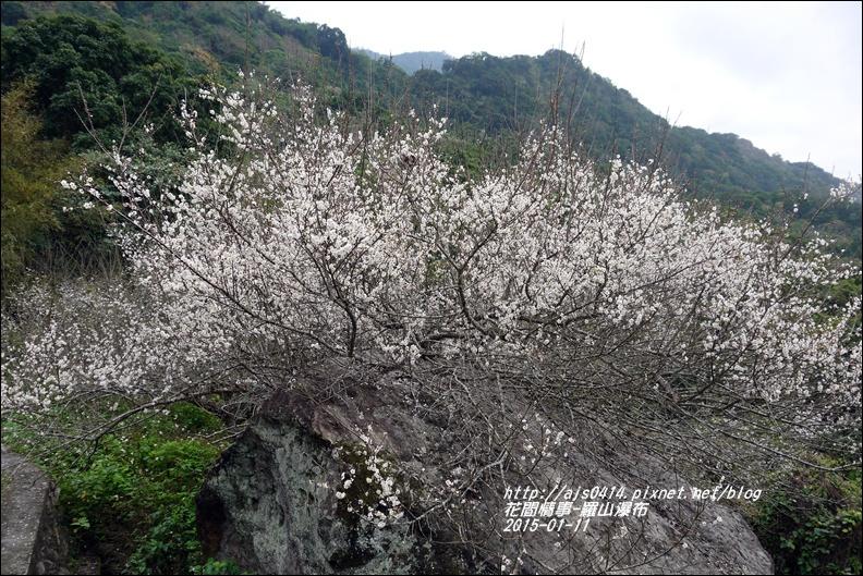 2015-01-羅山瀑布梅花香14.jpg