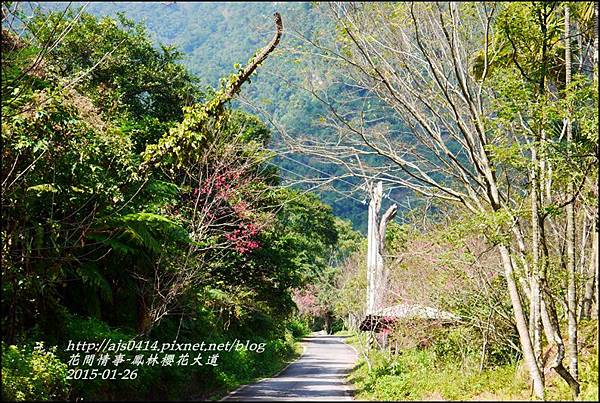 2015-01-鳳林櫻花大道2.jpg