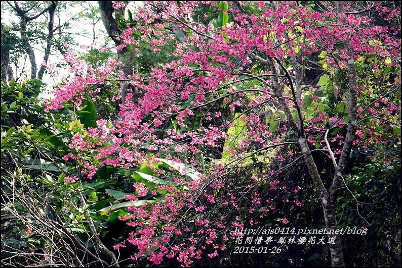 2015-01-鳳林櫻花大道29.jpg