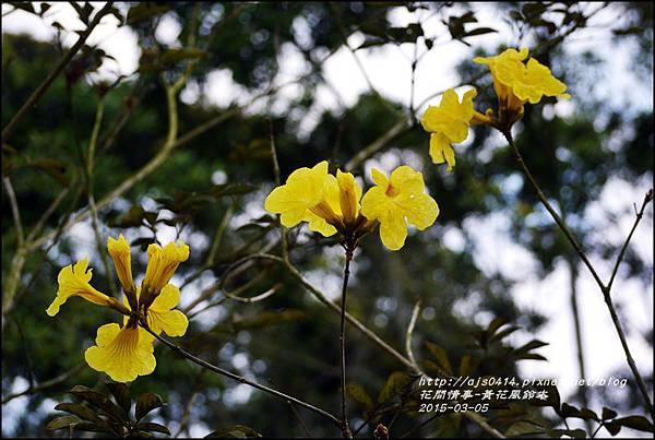 2015-03-黃花風鈴木4.jpg