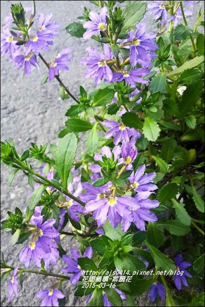 2015-03-紫扇花10.jpg