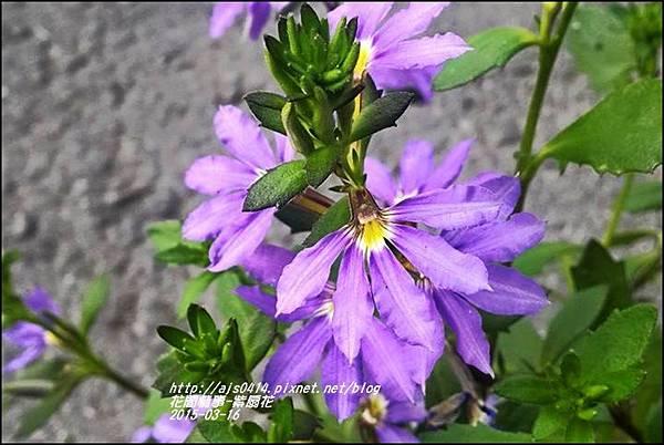 2015-03-紫扇花4.jpg