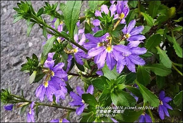 2015-03-紫扇花5.jpg