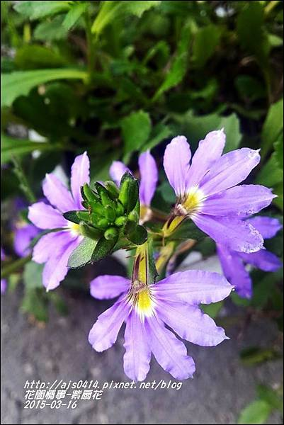 2015-03-紫扇花6.jpg