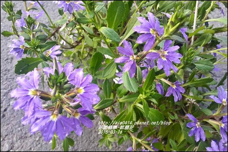 2015-03-紫扇花9.jpg