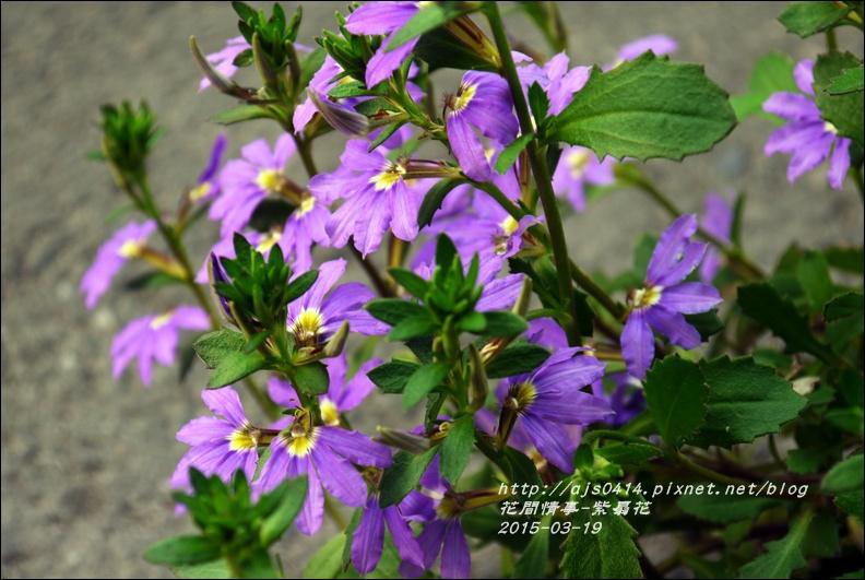 2015-03-紫扇花15.jpg