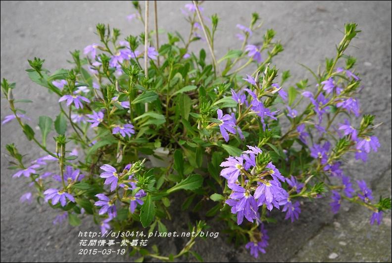2015-03-紫扇花13.jpg