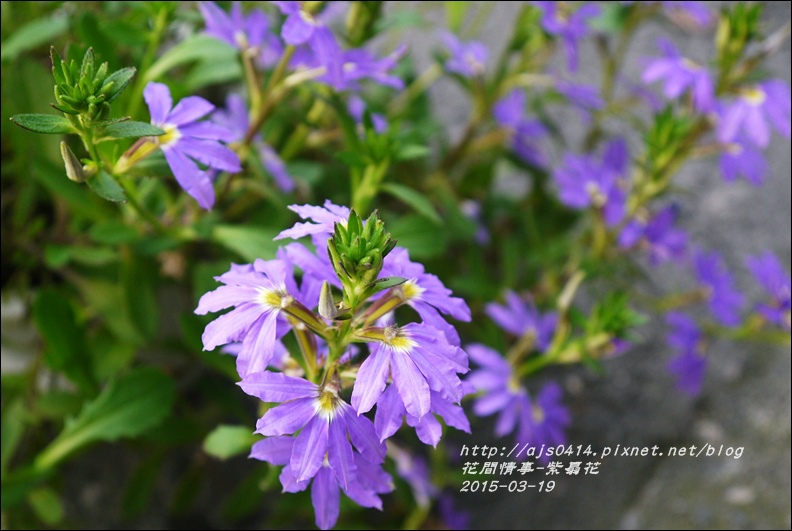 2015-03-紫扇花14.jpg